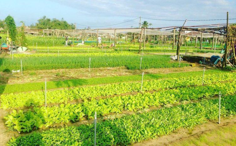 Thử sức làm nông dân chính hiệu tại  Làng rau Trà Quế Hội An